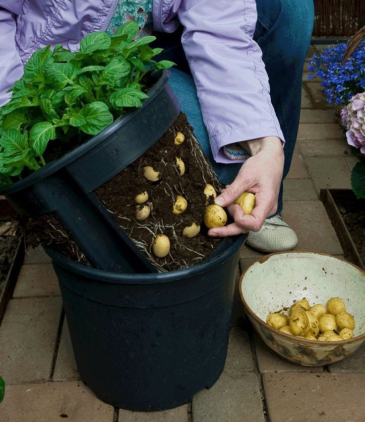 An image of a nested pot potato planter, where the inner pot has large cut outs with show many potatoes emerging through the dirt. A woman's hand is shown harvesting the potatoes and placing them into a bowl.
